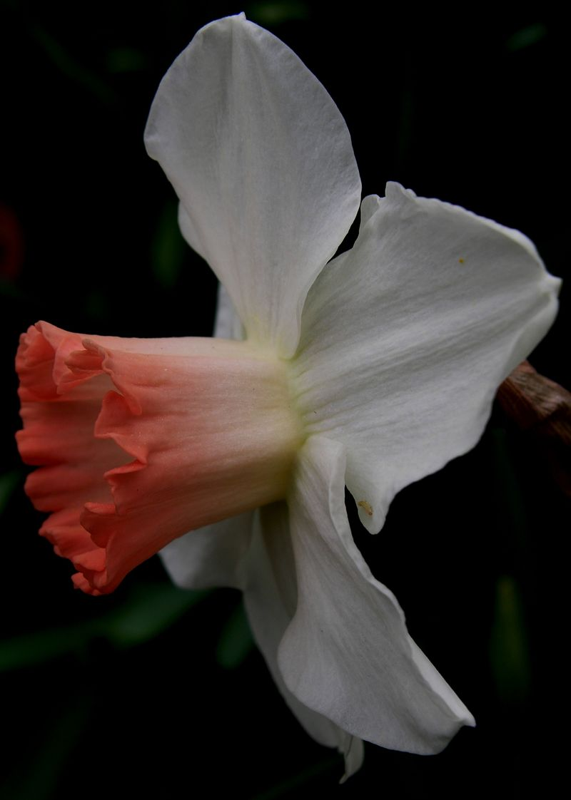Daffodil 20 March 2011