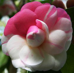 Camellia japonica I 26 February 2011