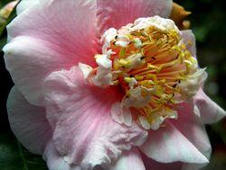 Camellia japonica III 26 February 2011