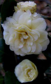 Camellia japonica Lemon Glow 3 April 2011