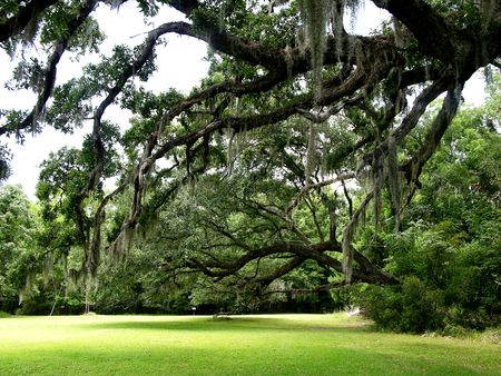 Live Oaks at Hampton Plantation 24 June 2006