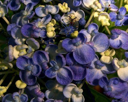 Hydrangea macrophylla Ayesha I 5 June 2011