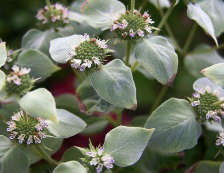 Pycnanthemum muticum 9 June 2011