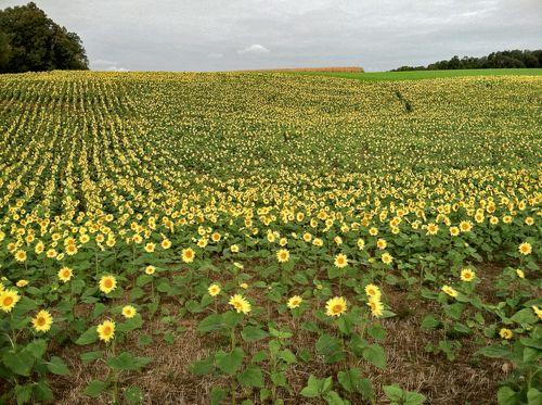 Hampstead MD sunflowers JS