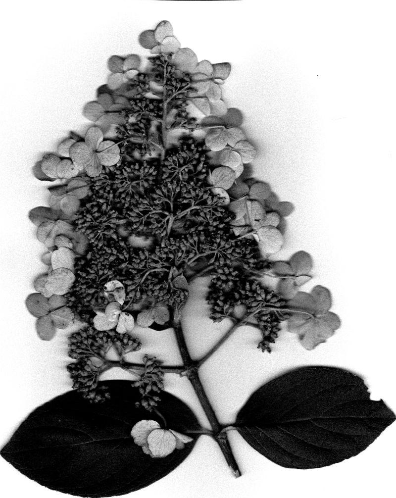 Pee Gee Hydrangea 4 October 2011