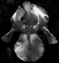 Mom's yellow bearded iris in B&W 14 April 2011