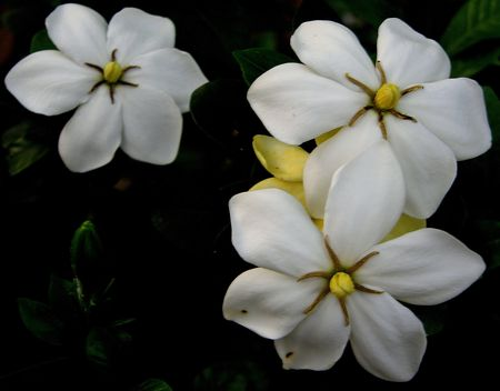 Gardenia 13 May 2011