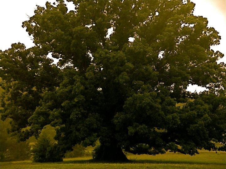 Earlysville White Oak