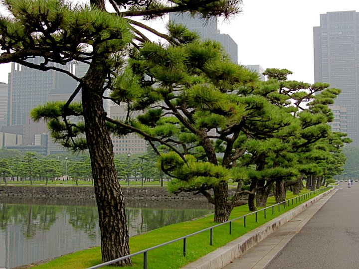 Pines along the Imperial Palace Moat 14 August 2011