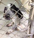 Baby Blue in Kennel before Rescue