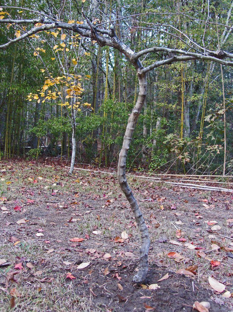 Scuppernong Vine 23 November 2012