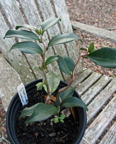 Camellia X Egao Corkscrew