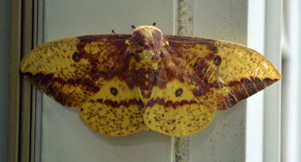 Eacles imperialis Imperial Moth 29 July 2013