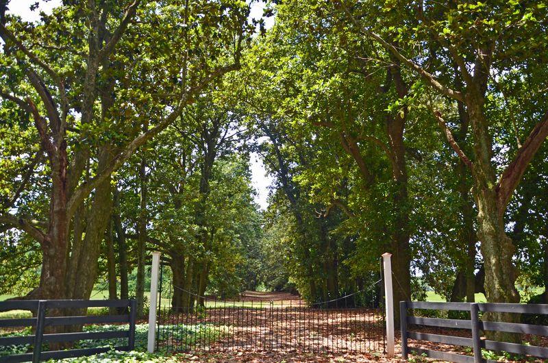 Redcliffe Plantation Allee 22 June 2013