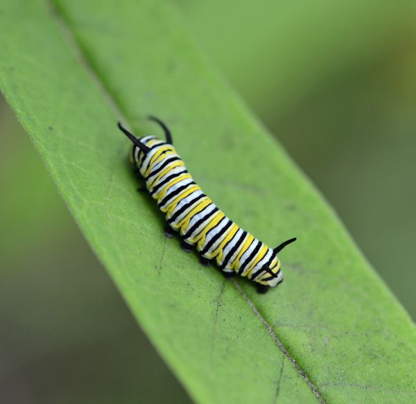 Monarch Caterpillar 17 August 2013