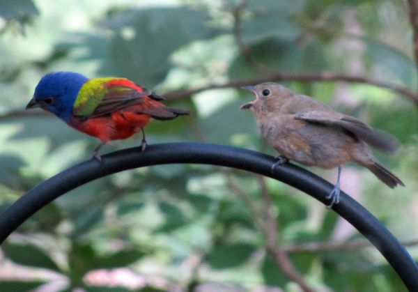Painted Bunting and Offspring III 6 July 2013