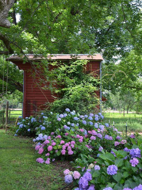 Barn with hydrangeas 22 June 2013