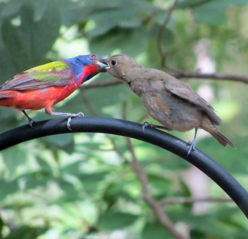 Painted Bunting and Offspring II 6 July 2013