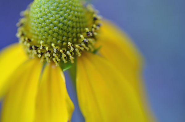 Yellow Coneflower 2 August 2013
