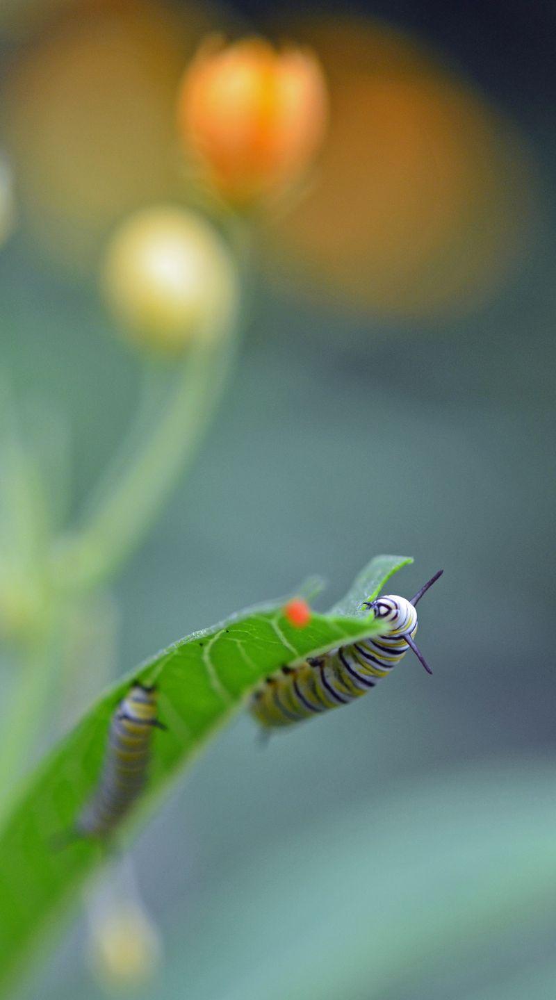 Monarch caterpillar 2 September 2013