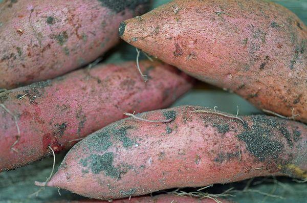 Sweet Potato Harvest 20 October 2013