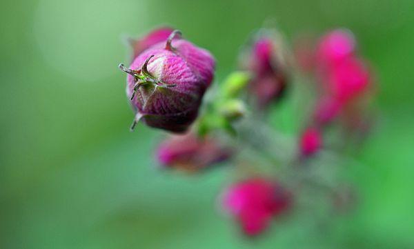Salvia involucrata 'Hidalgo' Rosebud Sage