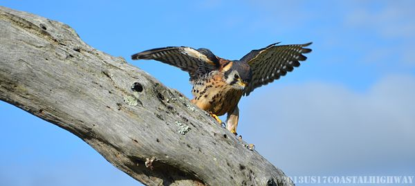 American kestrel Close Up with WM 13 October 2013