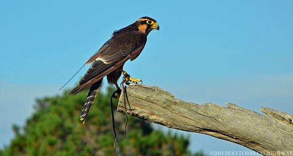 Aplomado Falcon with WM 13 October 2013