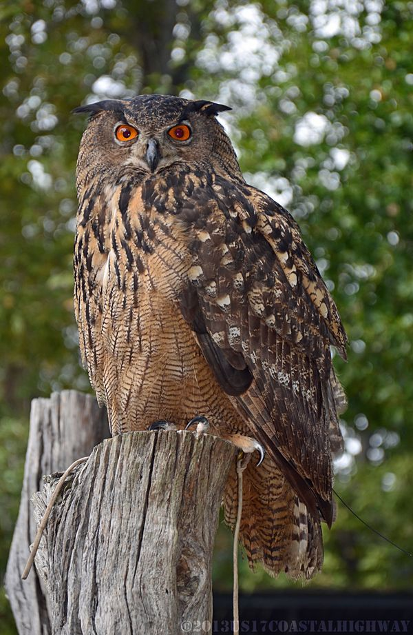 Eurasian Eagle Owl Birds of Prey with WM I 13 October 2013