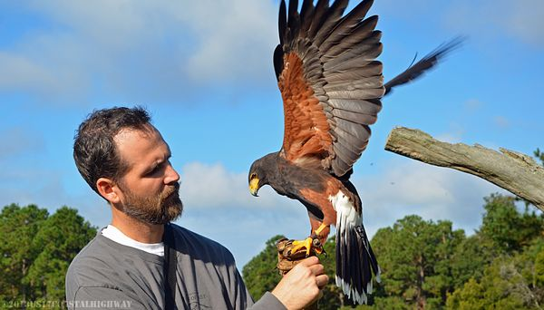 Harris Hawk with WM 13 October 2013