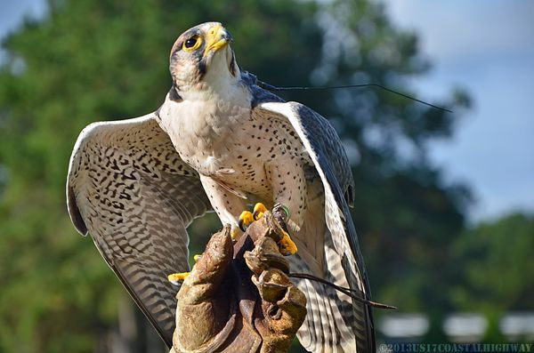 Lanner Falcon with WM 13 October 2013