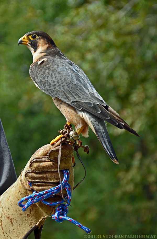 Barbary Falcon with WM 13 October 2013
