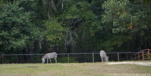 Zebras at Auldbrass Plantation with WM 2 November 2013
