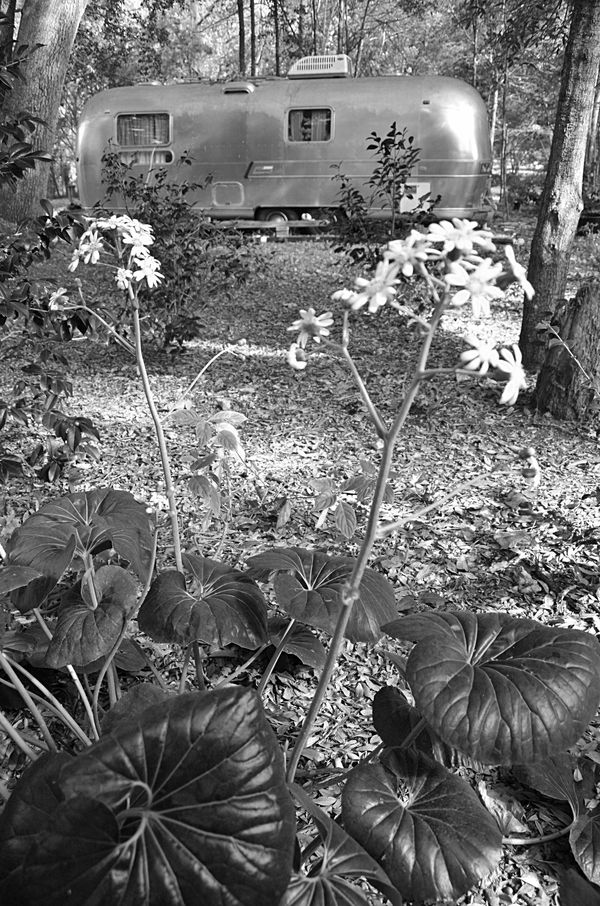 The Airstream and Farfugiums BW 22 November 2013