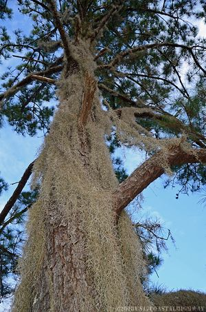 Pine with Spanish Moss with WM 21 November 2013