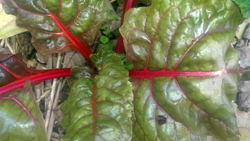 Swiss Chard 10 January 2014