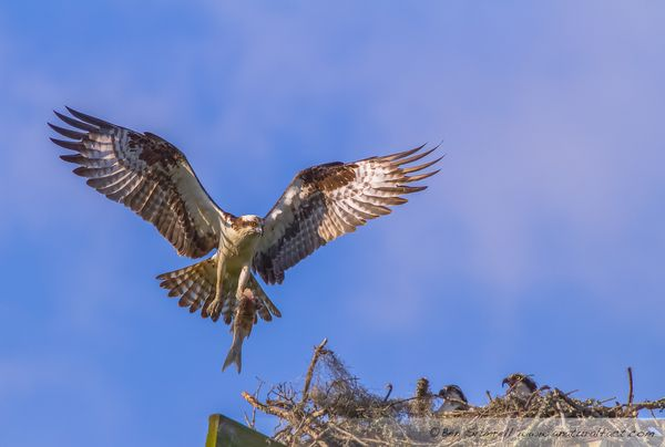 Osprey and nest, Isle of Palms SC-45