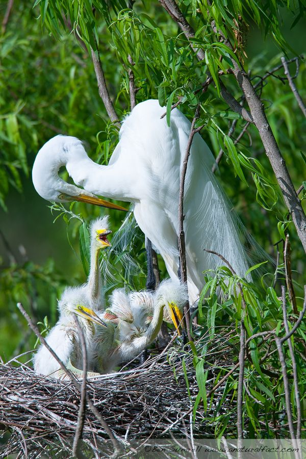 Great Egret and Chicks Magnolia Gardens-23