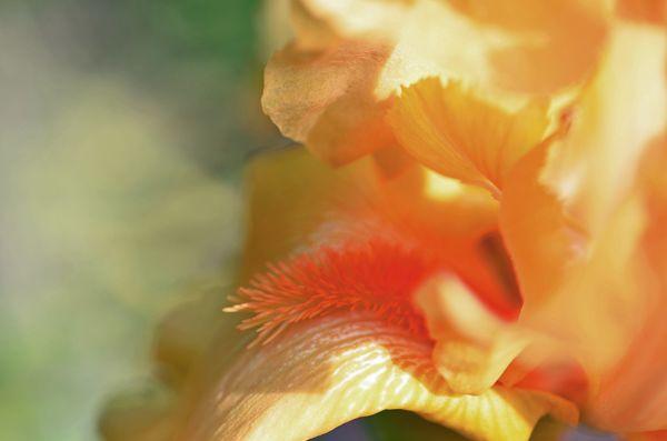 Dottie's Orange Iris 28 April 2014