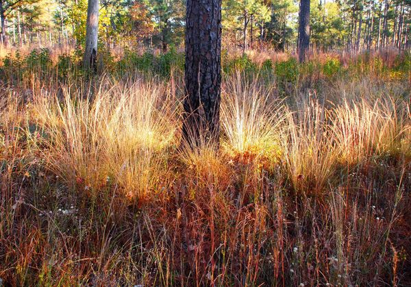 Longleaf and wiregrass in the Fall