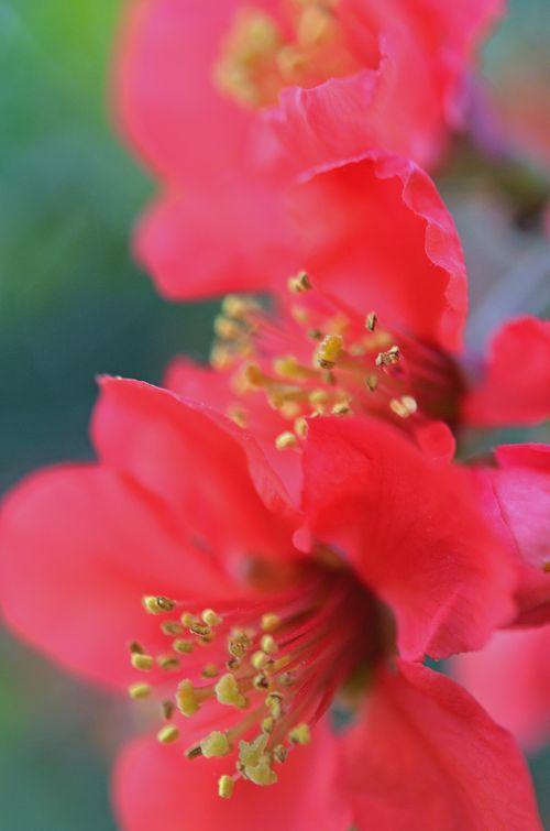 Flowering Quince Earlysville VA 19 April 2015