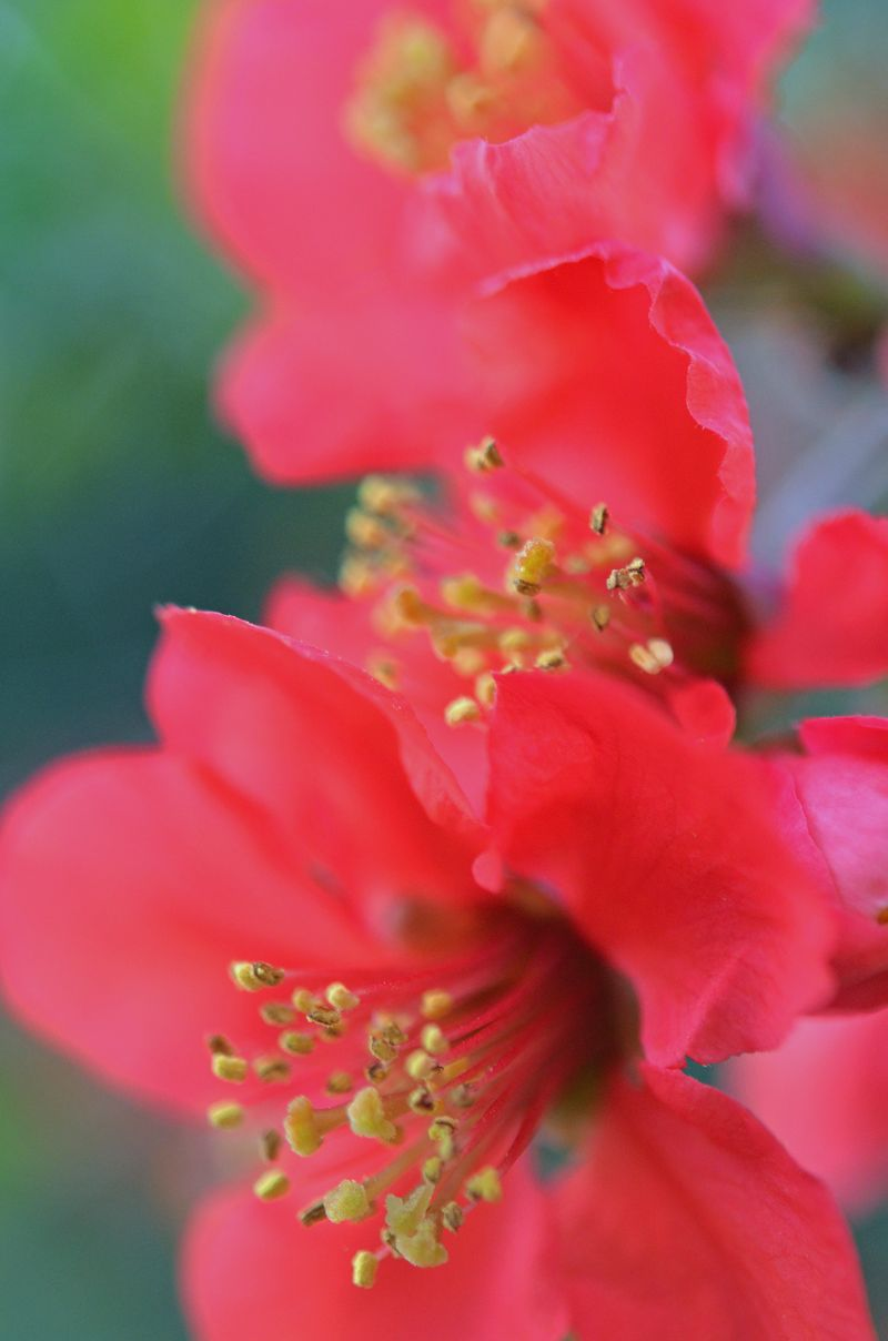 Flowering Quince Earlysville VA 19 April 2015