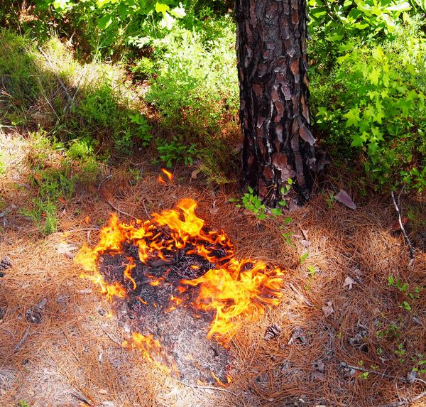 Fire spot by longleaf