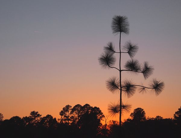 Longleaf at sunset