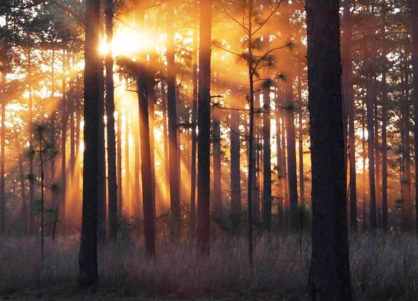 Sunlight through Ichauway longleaf pines