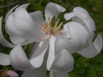Star_magnolia_15_march_2007