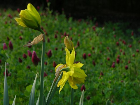 Daffodils_and_red_clover_30_march_b