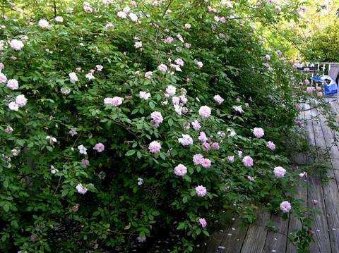 Rose_25_april_2007