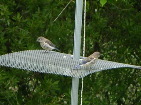 Bluebird_siblings_24_may_2007