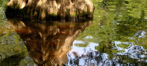 Bald_cypress_reflection_26_may_2007